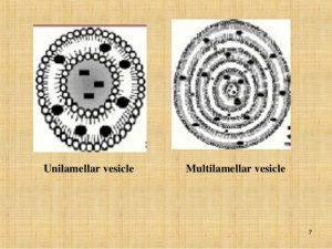 stable vs unstable liposomes liposomes Are there liposomes in my liposomal formulation? unilamellar vs multilamellar 300x225